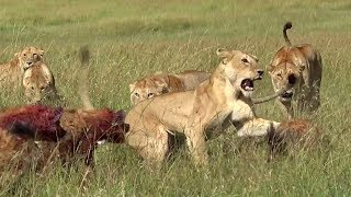 Lions against hyenas | Matira Safari, Maasai Mara