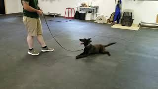 Holly, On Leash Obedience, K9 Unleashed, Protection Dog