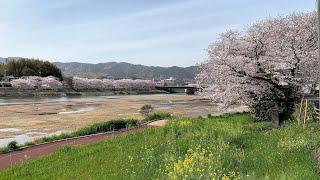 山口県の桜の名所には入ってませんが、島田川沿いに菜の花と桜の散歩道があります。 撮影日 2021年3月31日・4月1日.