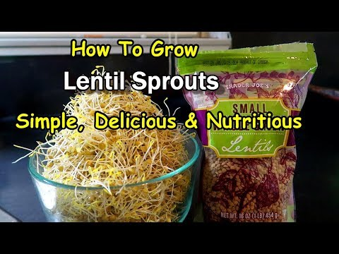Sprouting Lentil Seeds is Easy!  AND Delicious!