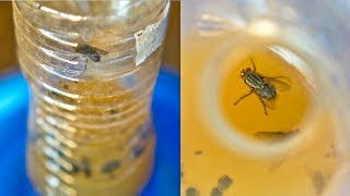 DIY FLY Trap to Get Rid of Flies and Fruit Fly
