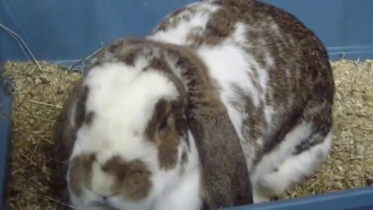 кролик-французский баран фото