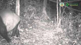 Malayan tapir (Tapirus indicus) - Kaeng Krachan
