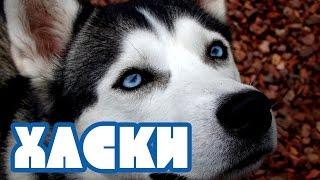 Хаски. Красивая собака с голубыми глазами