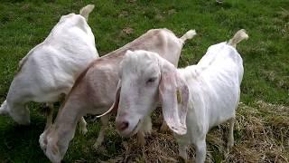 Anglo-nubijske koze