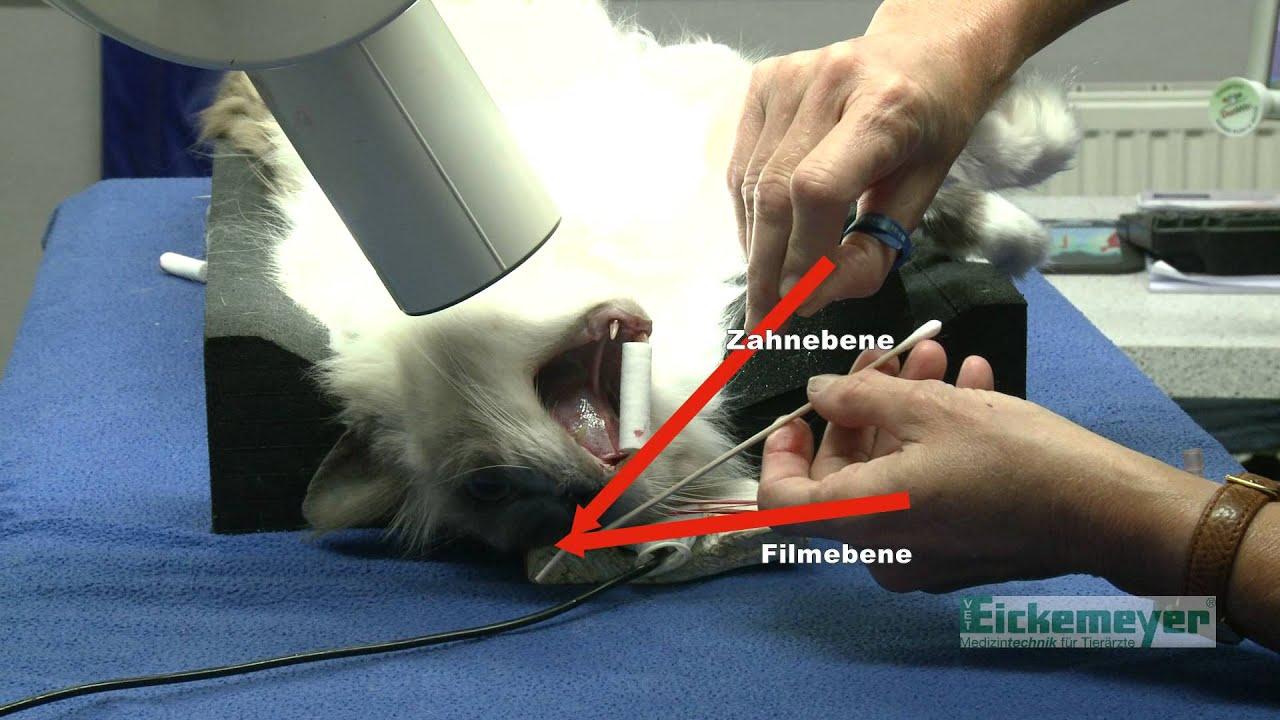 Digitales Zahnröntgen bei der Katze - YouTube