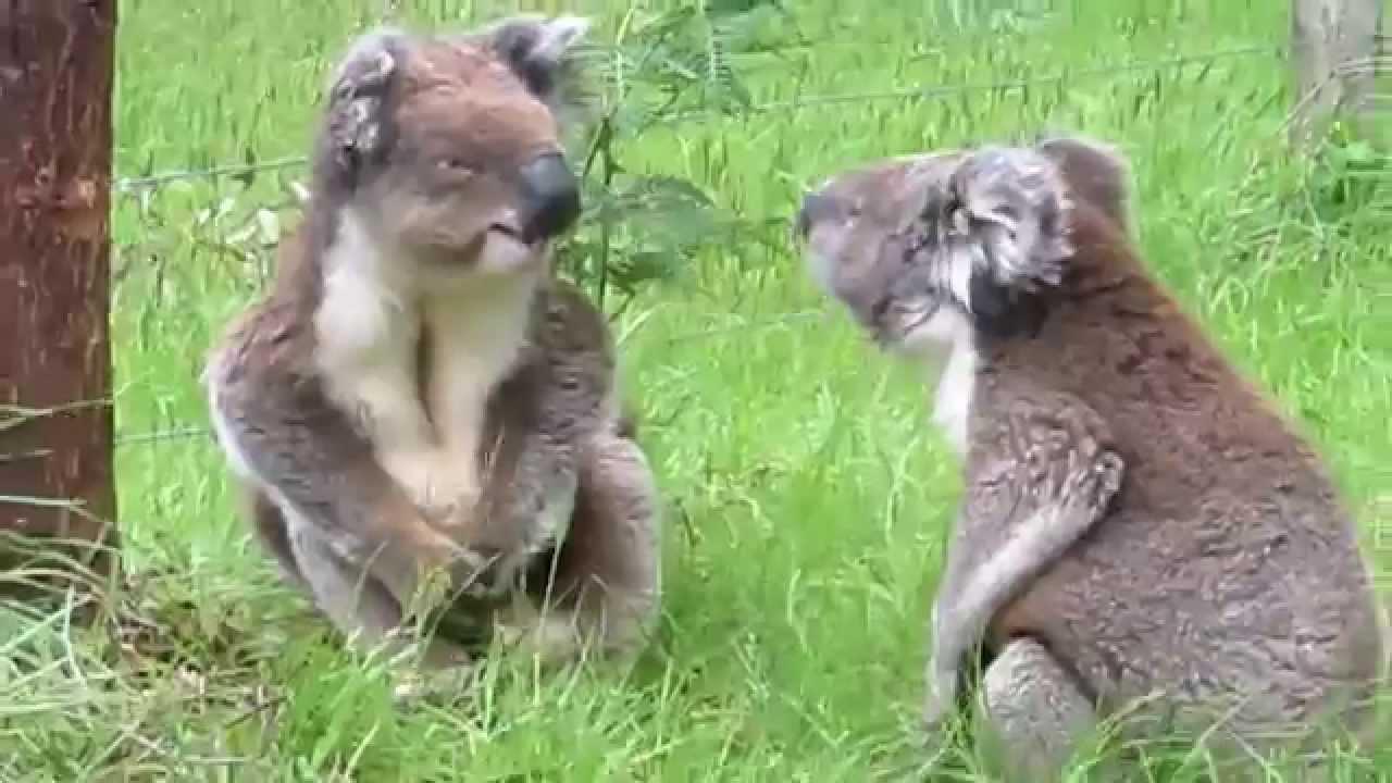 Deux Koalas se battent