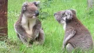 Two Koalas have an argument
