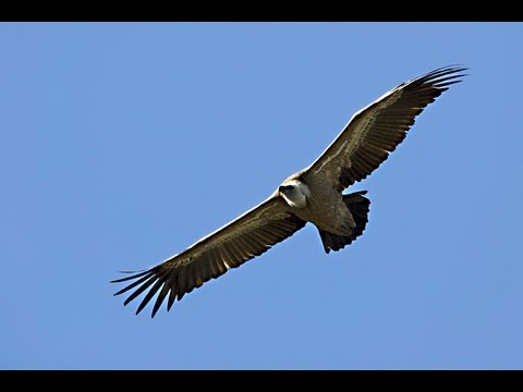 יש נשר בשמים / Griffon Vulture's project in Israel