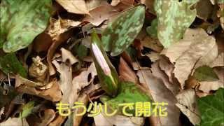 野山北公園 かたくり園 2015(3月18日)