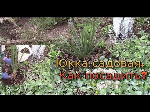 Юкка садовая.  Как посадить? Причина посадки юкки.