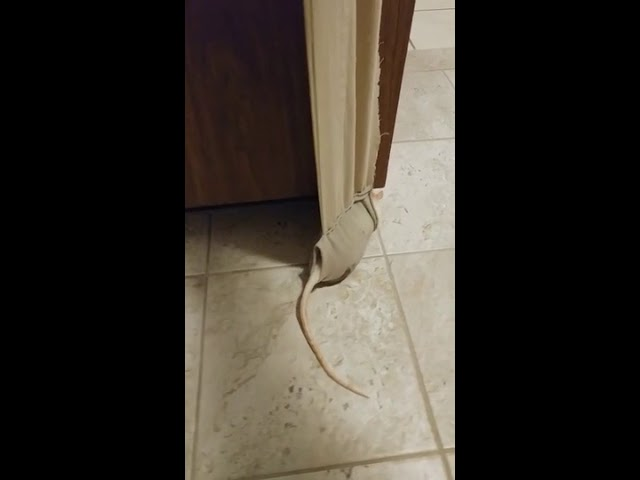 Elderly Rat Walks Around House With Help of Sling – 1002406