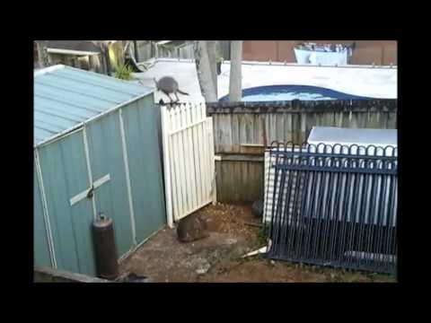 Kangaroo Jumps over Fence into Pool