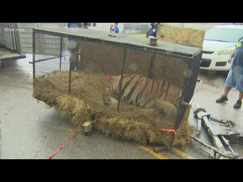 The Woody Show - Pot Smoker Finds Big Fat Tiger Abandoned in a House