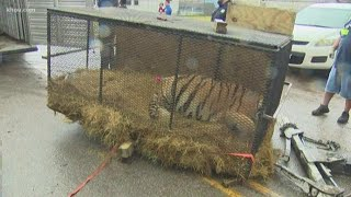 Tiger found inside southeast Houston home