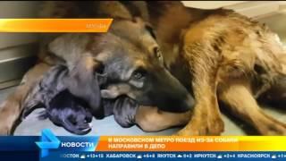Собака дворняжка ощенилась в метро в Москве