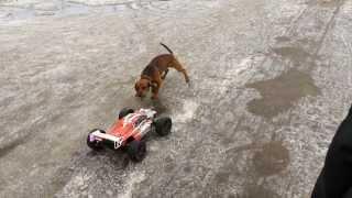 Dog vs. RC cars