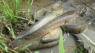 Fishing In Cambodia 2017 - A Woman Catch Fish in Tiny Creek - จับปลา - Загас барих
