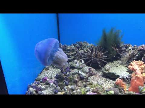 Big Blue Jellyfish from YouTube · Duration:  1 minutes 23 seconds