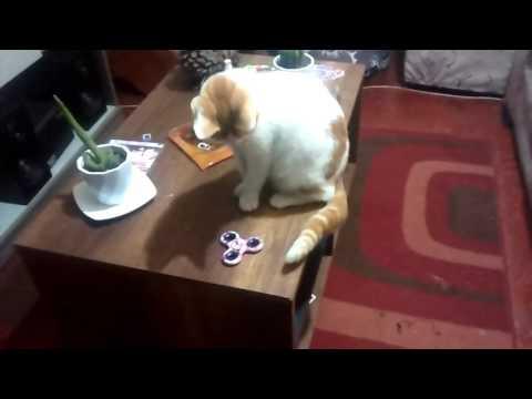 Mi gatito Pedro jugando con su Fidget Spinner / My Cat playing with a Fidget Spinner
