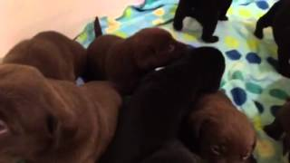 3-1/2 Week Old Labrador Retriever Puppies!