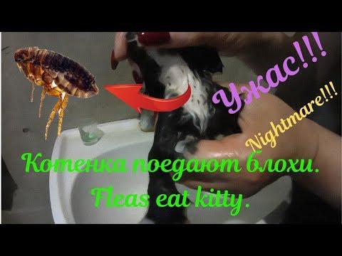Вопрос: Как помыть котенка шампунем от блох?