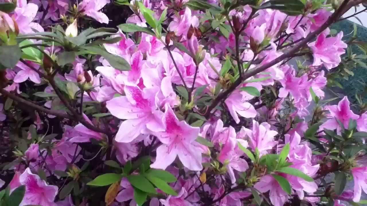 56235ac3 Flores Azaléia - YouTube