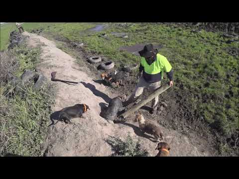 Driven Fox Hunt With Chiappa Triple Crown 20G And Dachshunds Victoria 17/05/2020