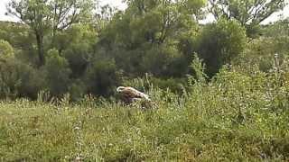 Орёл могильник (1)