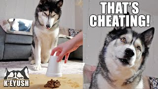 He CHEATS! Using MAGIC To Test My Husky's Cleverness!