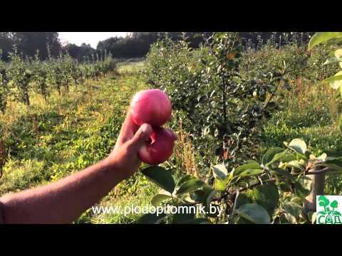 Яблоня сорт Женева ранняя (Early Geneva)  / Ранние летние сорта яблонь