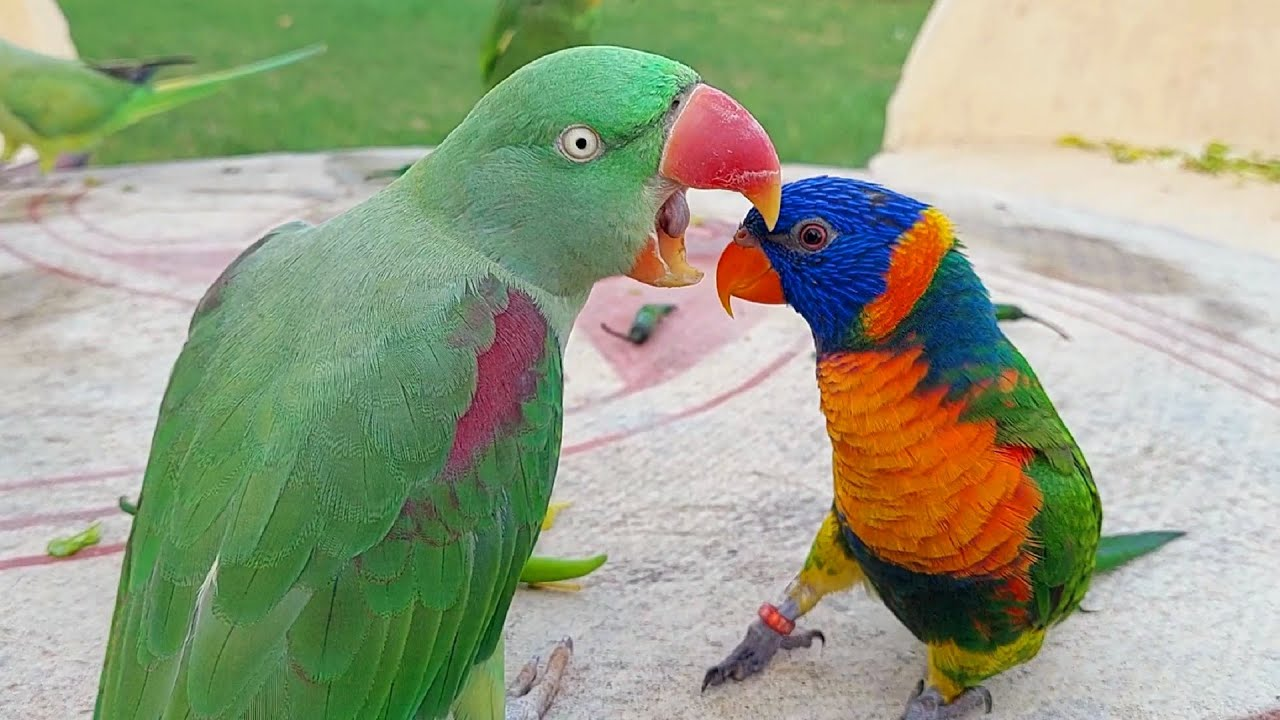 Funny Parrots Eating Chilies