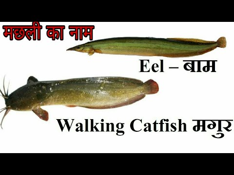 50 Fish Names In English And Hindi