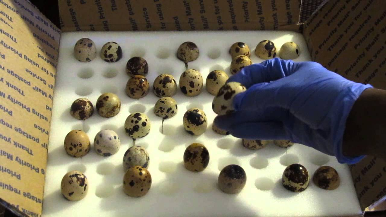 My New Batch Of Hatching Jumbo Coturnix Quail Eggs Going Into The ...