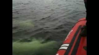 Belugas à Tadoussac - Canada Thumbnail