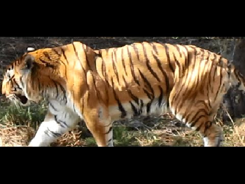Huge Royal Bengal Tiger