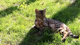 Бенгальская кошка http://vk.com/club39271838 ПРОДАЖА КОТЯТ