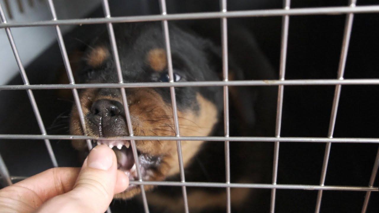 Приводим в порядок собак. Ротвейлер Конор ест корм супер премиум класса. Жизнь с собаками. 3 часть