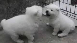 紀州犬花と12月14日生まれの子犬達♪ http://blogs.yahoo.co.jp/pre_tia_...