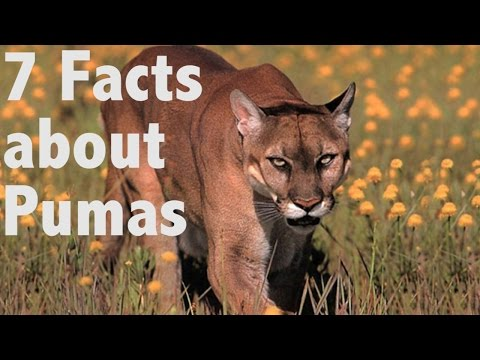 7 facts about Pumas