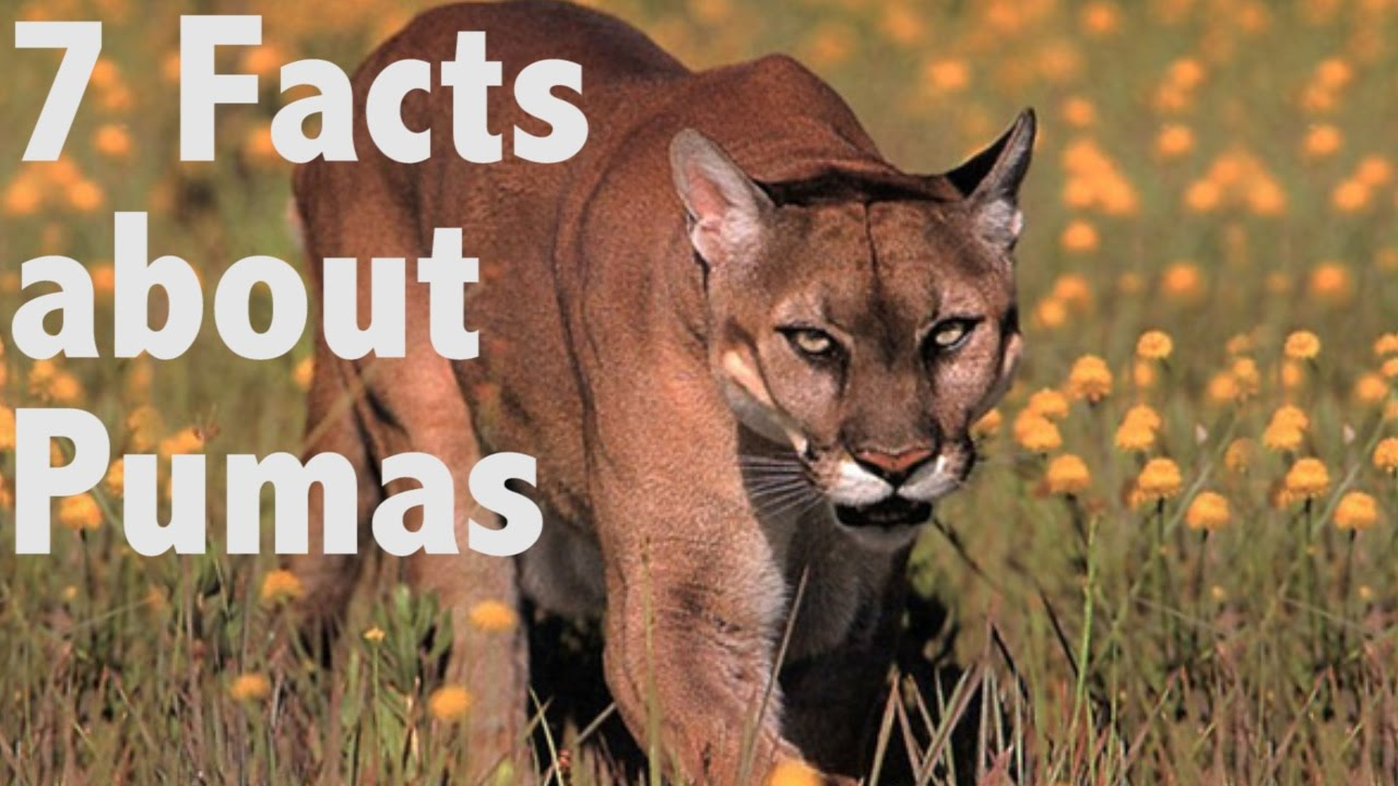 7 facts about pumas youtube