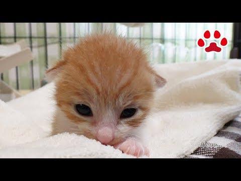 生後1日で放置され、保護したかわいい子猫まや、初めてだらけで戸惑いの一日 【瀬戸のまや日記】 Kitten maya  Lot, first experience