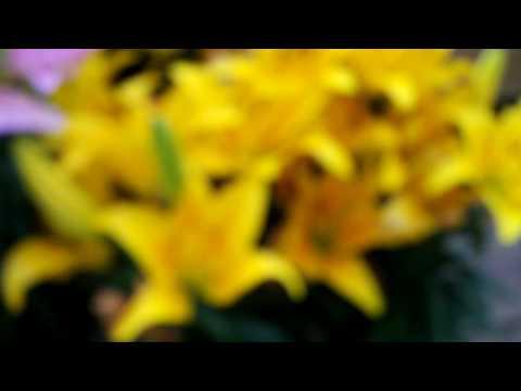 Asiatic Lilys