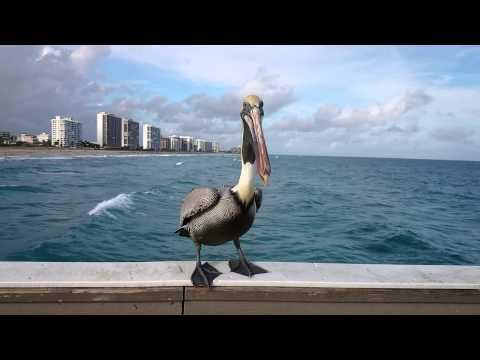 Brown pelican eating shrimp