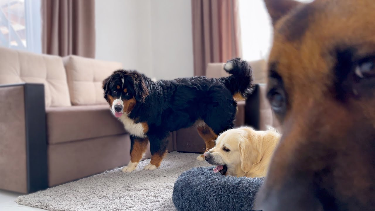 What do my dogs do when they're alone in a room?