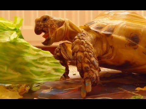 Видео - Смешные черепахи (Рептилии)
