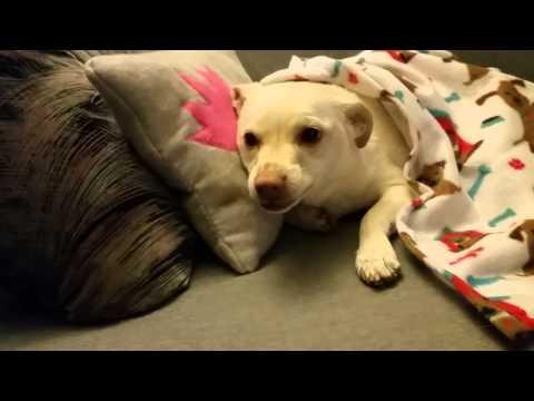 Drama Queen- funny dog tantrum.