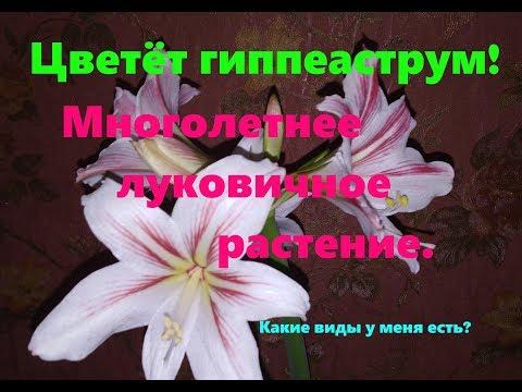 Белый гиппеаструм цветёт!