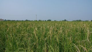 Pan shot of golden rice ears swinging in the wind during daytime in India