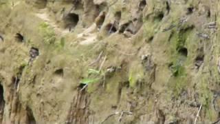 2011.07.22撮影 コロニーの巣穴から顔を出すショウドウツバメのヒナ達と...